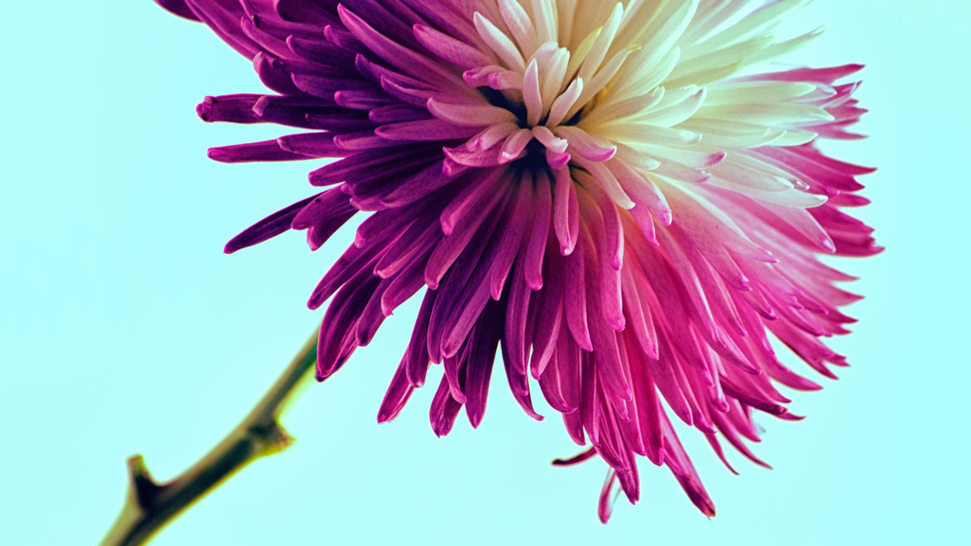 Fuchsia dahlia